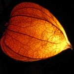 Eine Lichterkette aus Lampionblumen – a string of lights made of Chinese lantern plant